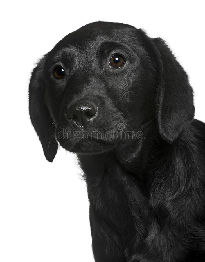 Close-up van een zwart puppy van Labrador stock foto