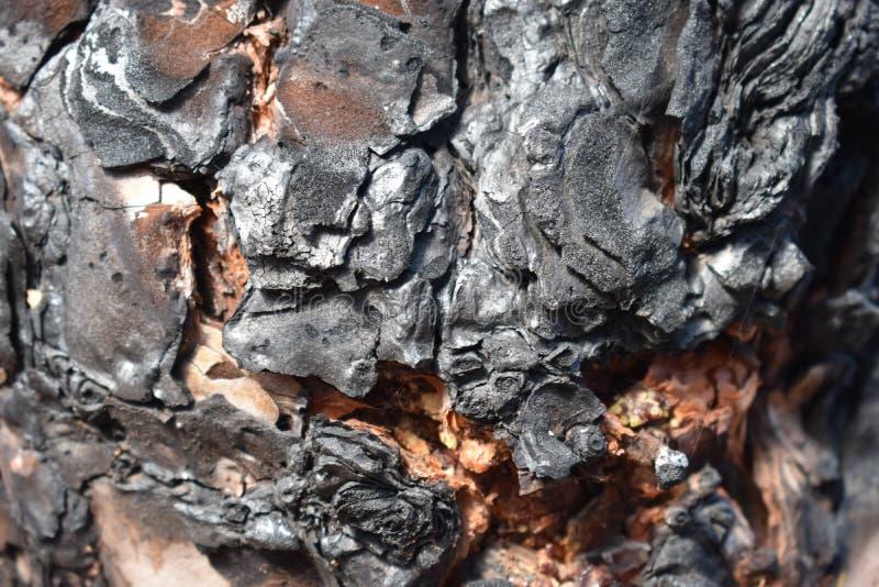 Close-up van een zwarte gebrande boomschors van een pijnboomboom stock afbeeldingen