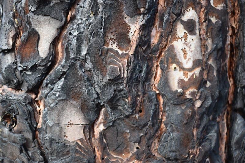 Close-up van een zwarte gebrande boomschors van een pijnboomboom stock afbeelding