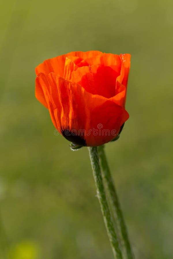 Close-up van enige papaverbloem op gebied van gras. stock fotografie