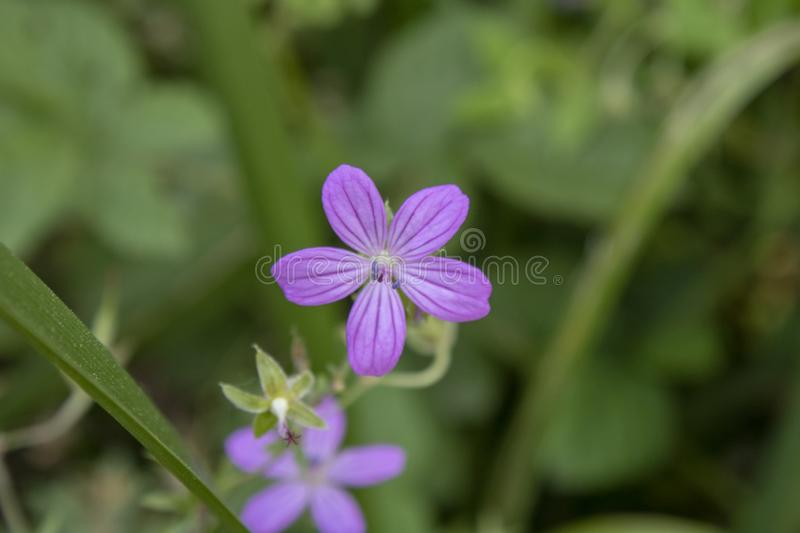Close-up van Erodium-cicutarium ( Redstem Stork' s Bill) bloem stock afbeelding