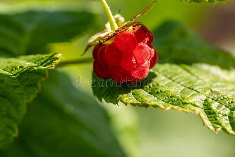 Close-up van Framboos Sappige framboos Tuinvruchten Gezond voedsel royalty-vrije stock afbeeldingen