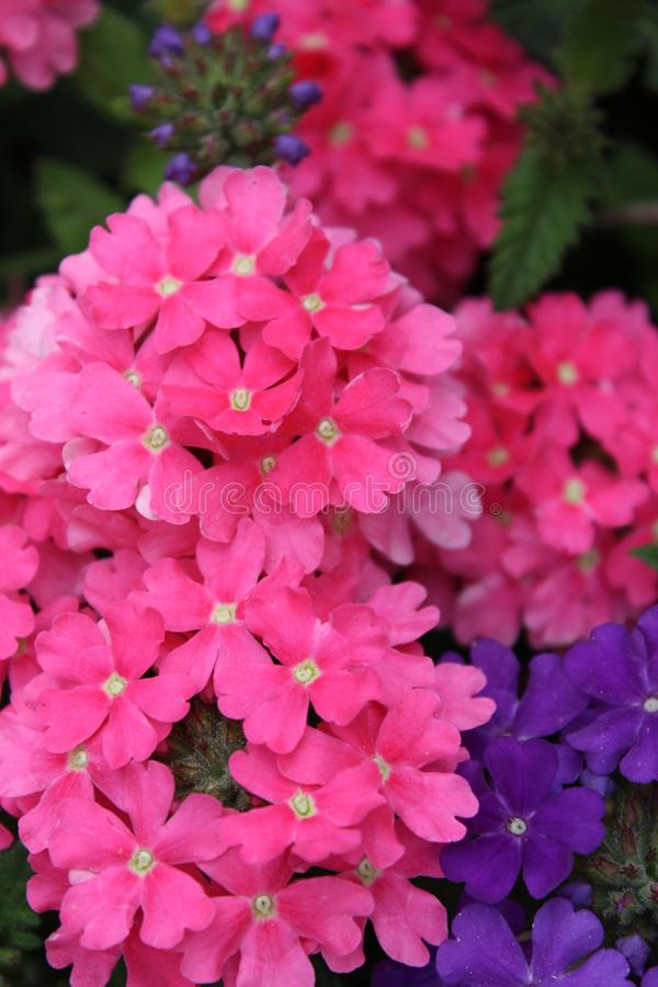 Close-up van fuchsiakleurig bloemen royalty-vrije stock fotografie