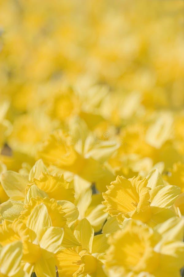 Close-up van gele bloemen stock afbeeldingen