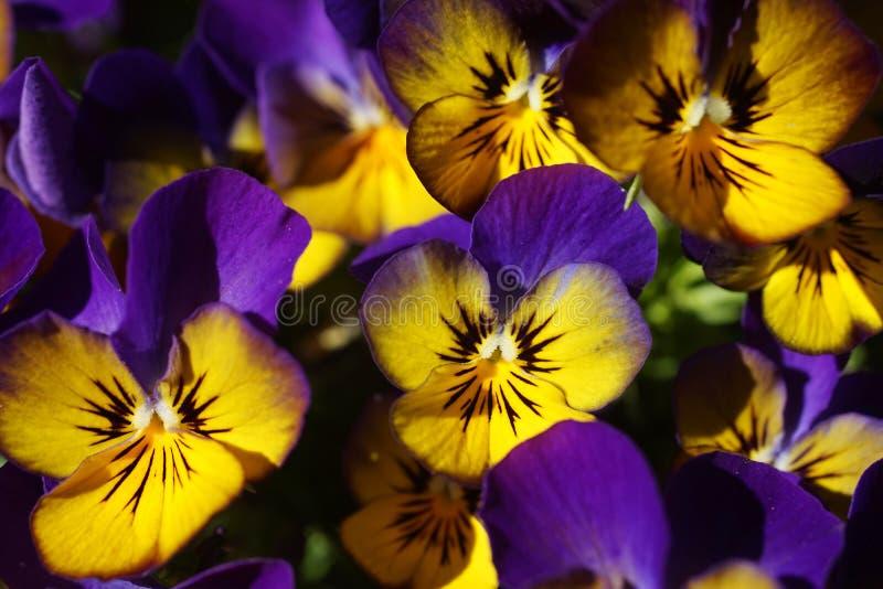 Close-up van Gele Pansies stock afbeelding