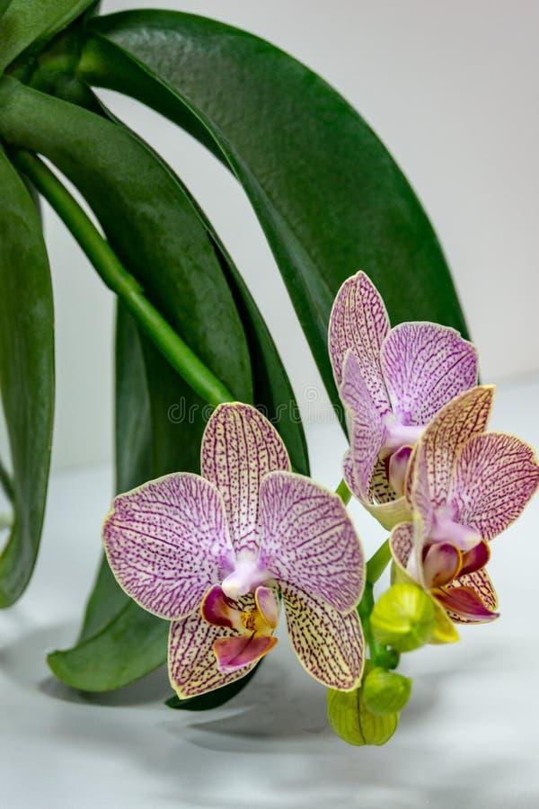 Close-up van gele, rode, roze en witte gestreept met de bloem Phalaenopsis Demi Deroose Moth Orchid van de puntenorchidee, op lic royalty-vrije stock fotografie