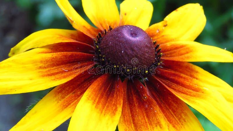 Close-up van gele tuinbloemen die in openlucht bloeien stock afbeeldingen