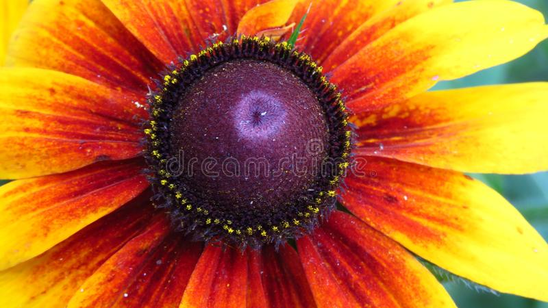 Close-up van gele tuinbloemen die in openlucht bloeien royalty-vrije stock foto's
