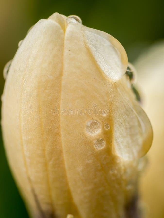 Close-up van gele verse krokus stock afbeeldingen