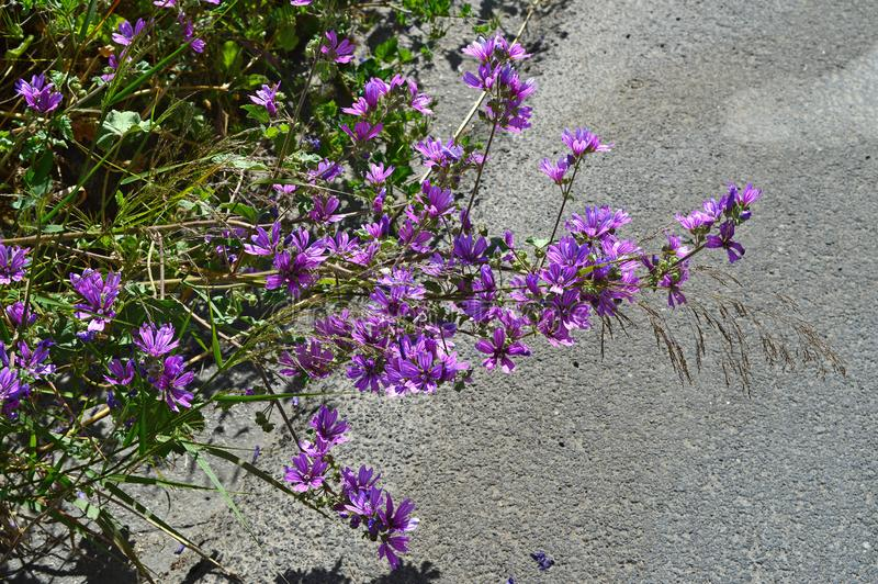 Close-up van Gemeenschappelijke Malvebloemen, Malva Sylvestris, Aard royalty-vrije stock afbeelding