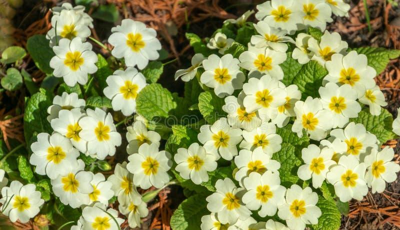Close-up van Gemeenschappelijke Sleutelbloem de Primulaacaulis van de partij witte lente of primula vulgaris bloemen De lenteconc royalty-vrije stock fotografie