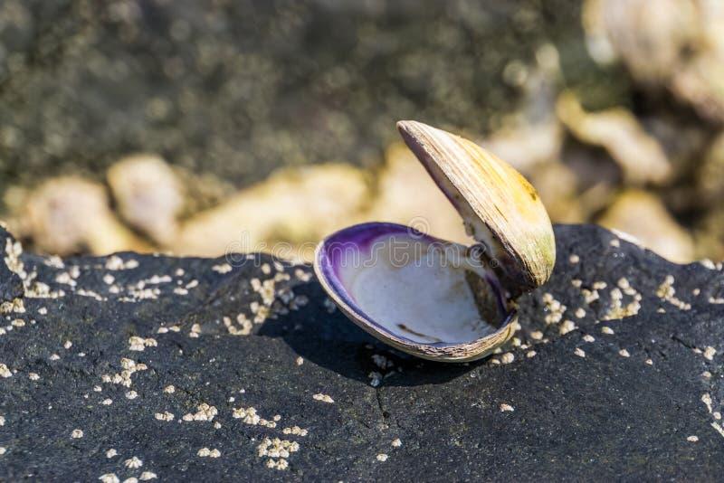 Close-up van geopende overzeese shell bij het strand, het huis van een weekdier, Kustachtergrond, Marien het levensdier royalty-vrije stock afbeelding