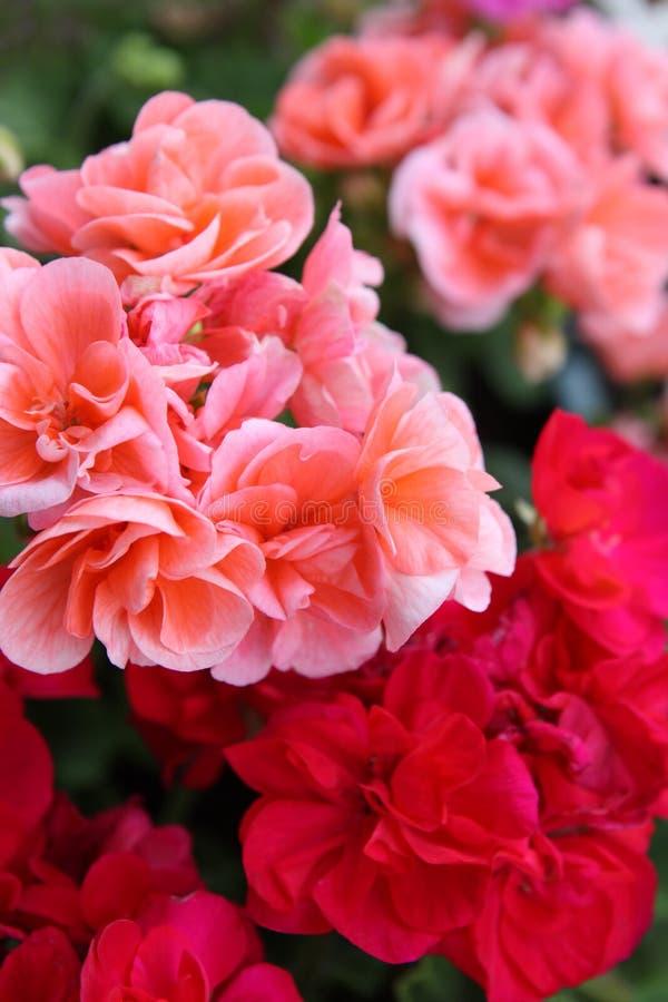 Close-up van geranium stock afbeelding