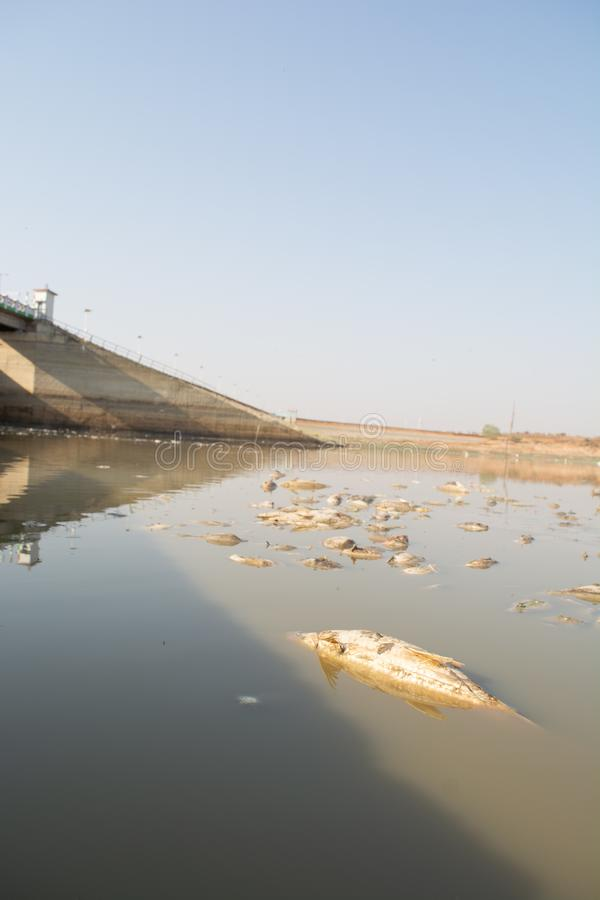 Close-up van gestorven Vissen in een opgedroogde lege reservoir of een dam toe te schrijven aan een de zomerhittegolf, een lage r stock foto