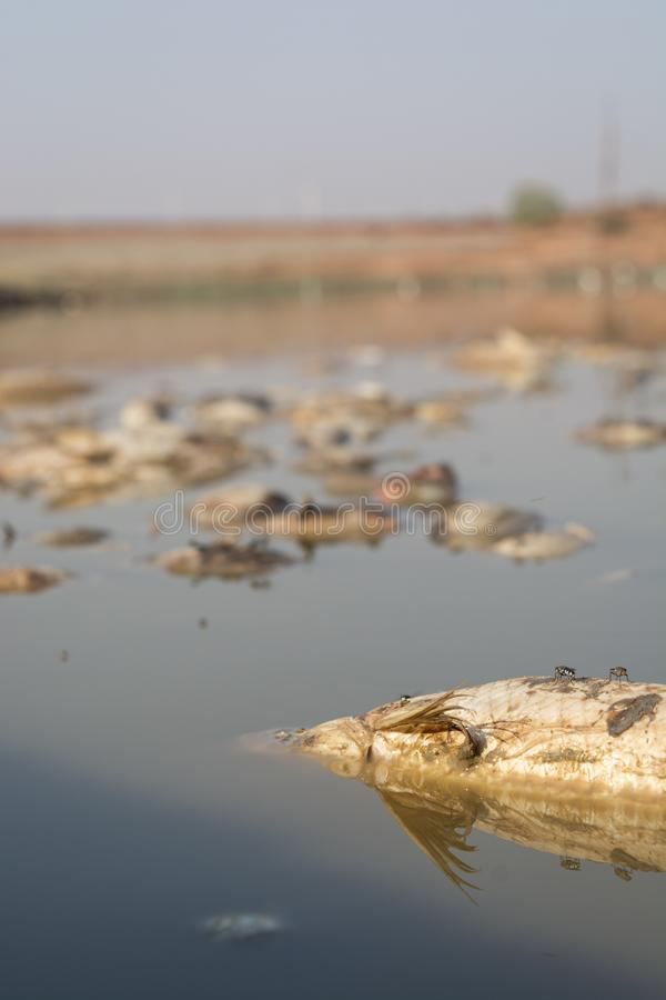 Close-up van gestorven Vissen in een opgedroogde lege reservoir of een dam toe te schrijven aan een de zomerhittegolf, een lage r royalty-vrije stock afbeelding