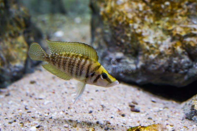 Close-up van gestreept bruin en geel samengeperst cichlid, een tropisch aquariumhuisdier van meer Tanganyika in Afrika royalty-vrije stock afbeeldingen