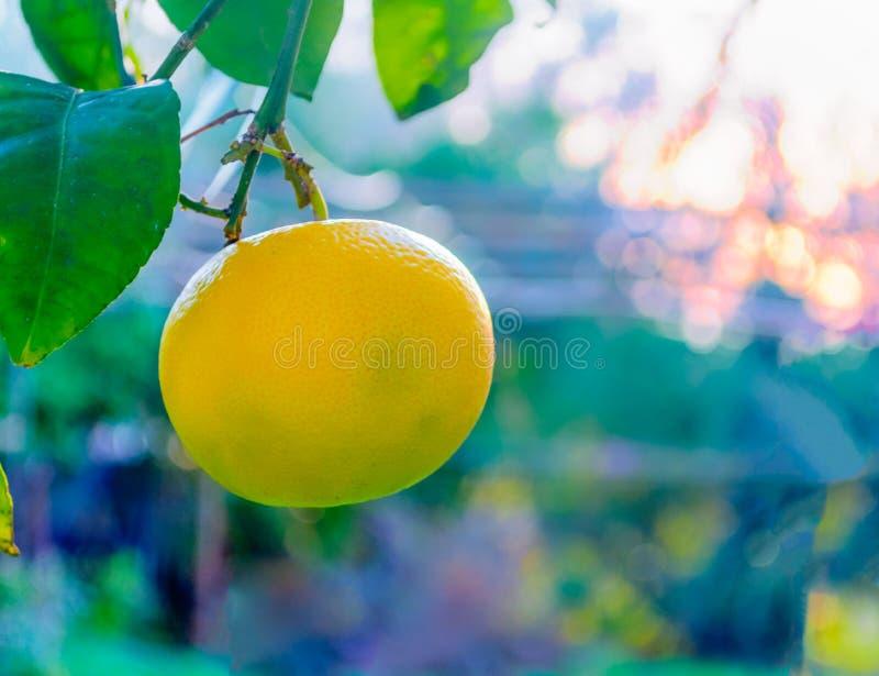 Close-up van grapefruit op de boom stock afbeeldingen