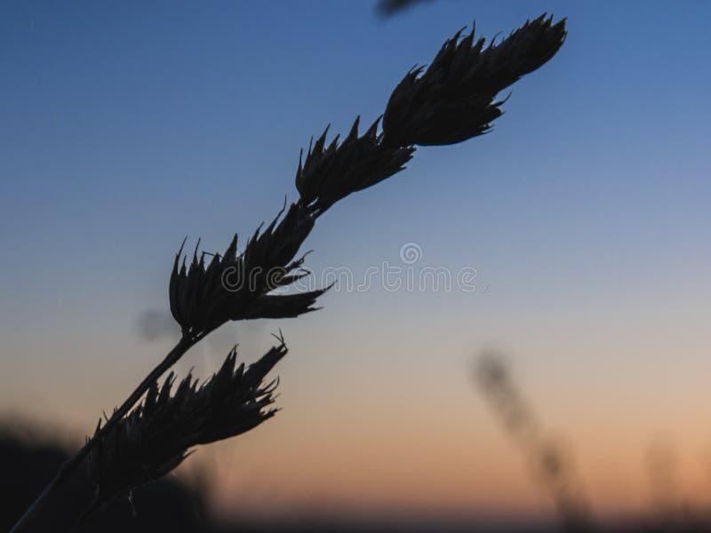 Close-up van gras en tarwe bij zonsopgang stock foto's