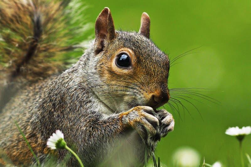 Close-up van grijs eekhoorngezicht stock foto