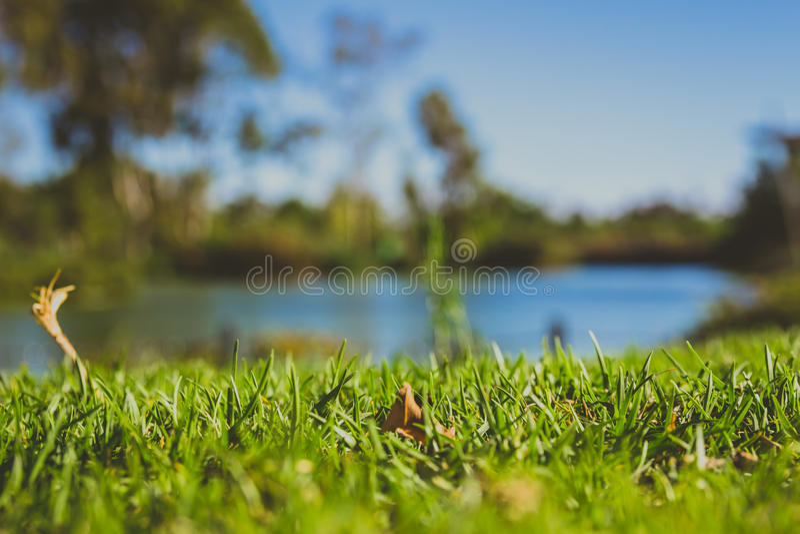 Close-up van groen gras in park met onscherpe achtergrond van een vijver royalty-vrije stock foto's