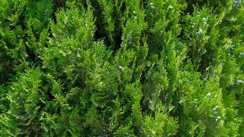 Close-up van groene bladeren van Thuja-bomen stock fotografie