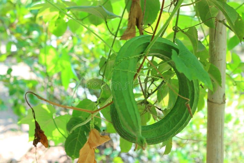 Close-up van groene courgette in openlucht plantaardige percelen voor natuurlijke natuurlijke voeding royalty-vrije stock fotografie