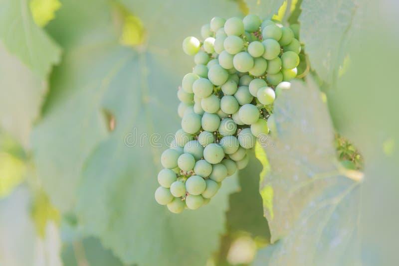 Close-up van groene druiven die op wijnstok in wijngaard rijpen royalty-vrije stock foto's
