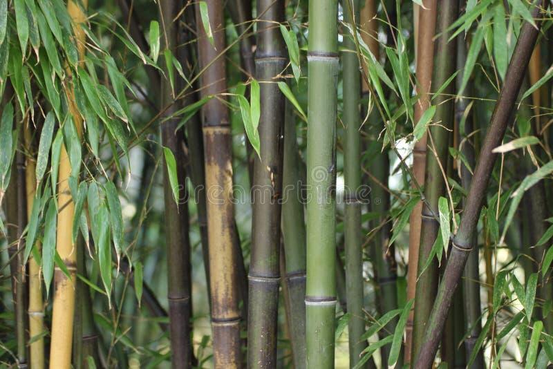 Close-up van groene en bruine bamboestammen in de winter stock fotografie