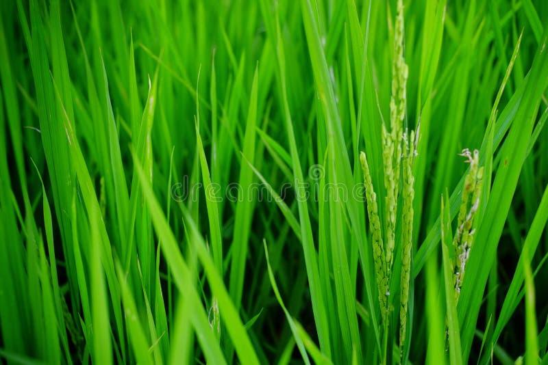 Close-up van groene rijst die op een gebied in Myanmar, Azië worden gekweekt royalty-vrije stock fotografie