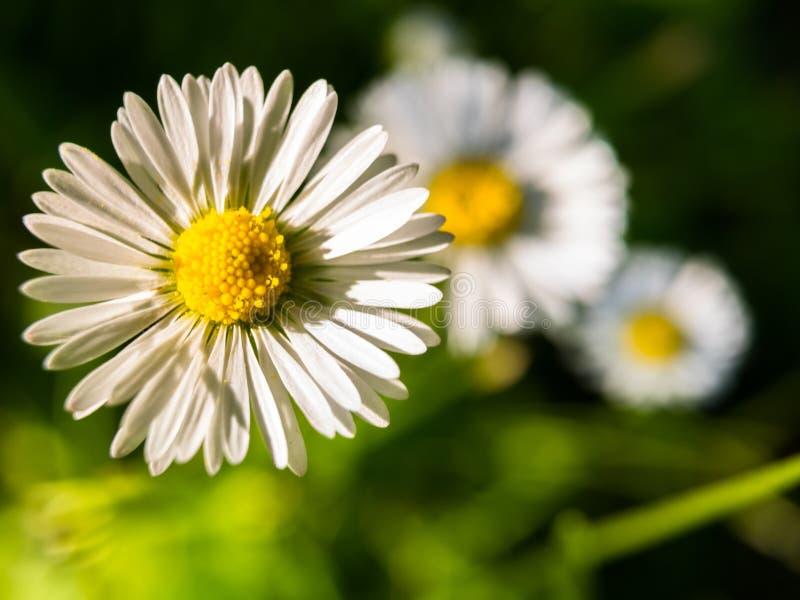 Close-up van groep perennis van Bellis van madeliefjebloemen die tijdens de zomergang wordt gevonden royalty-vrije stock afbeelding