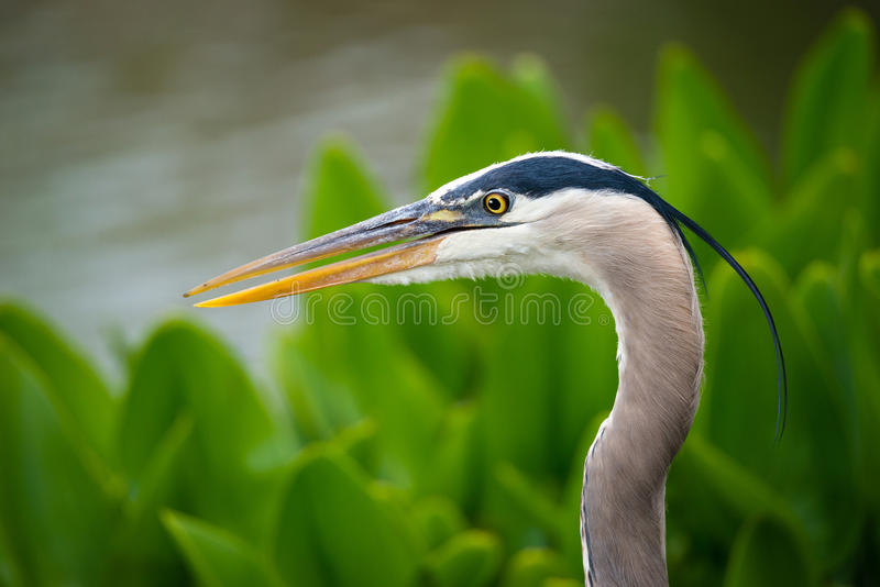 Close-up van Grote Blauwe Reiger stock foto