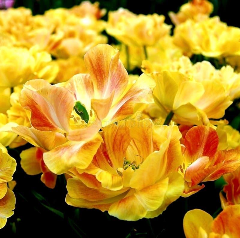 Close-up van grote gele tulpen stock afbeelding
