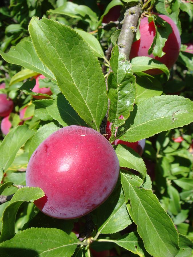 Close-up van heerlijke rijpe pruimen op boomtak in tuin stock foto's