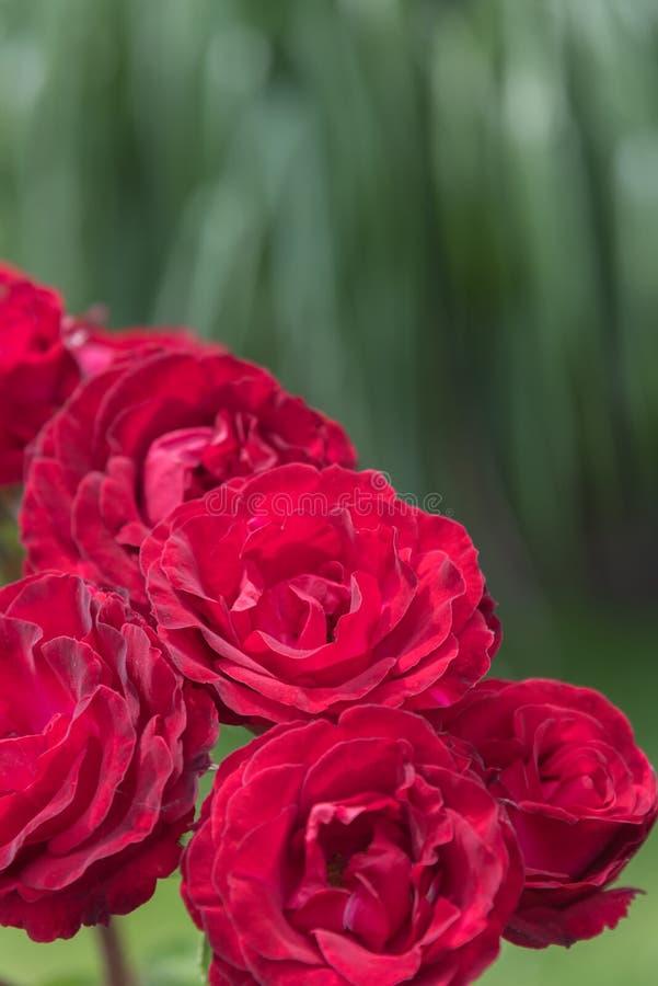 Close-up van heldere rode rozen in roze tuin met groene bladeren op achtergrond stock foto