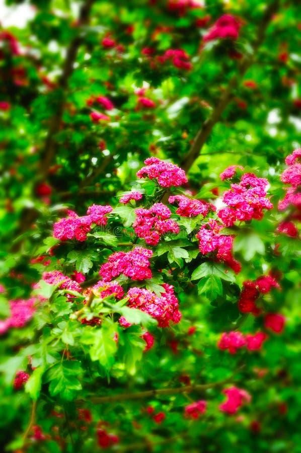 Close-up van heldere roze bloemen van bloeiende haagdoornstruik royalty-vrije stock fotografie