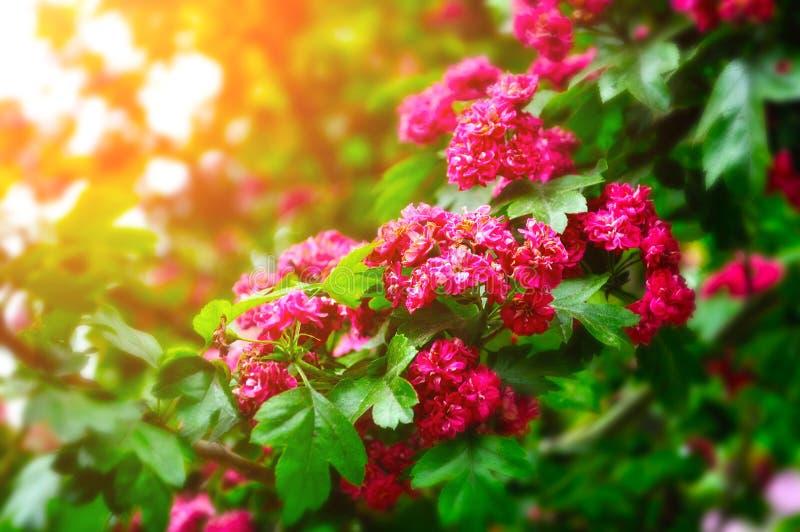 Close-up van heldere roze bloemen van tot bloei komende haagdoornboom royalty-vrije stock fotografie