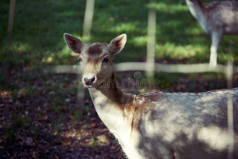 Close-up van herten royalty-vrije stock afbeelding