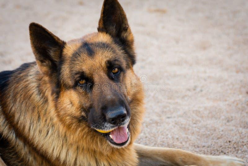 Close-up van het Duitse gezicht van de herdershond Het portret van het huisdier Openlucht natuurlijk portret stock foto's