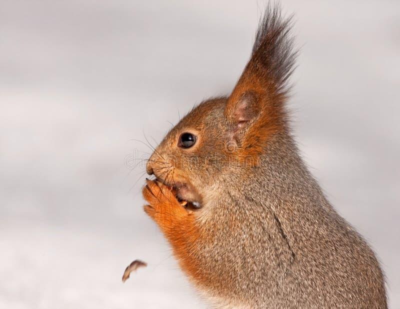 Close-up van het eten van eekhoorn royalty-vrije stock afbeeldingen