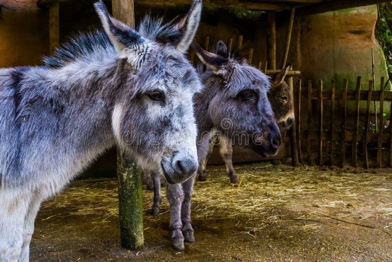 Close-up van het gezicht van een miniatuurezel met een ander ezelshoofd in de achtergrond, de populaire huisdieren en de landbouw stock afbeeldingen