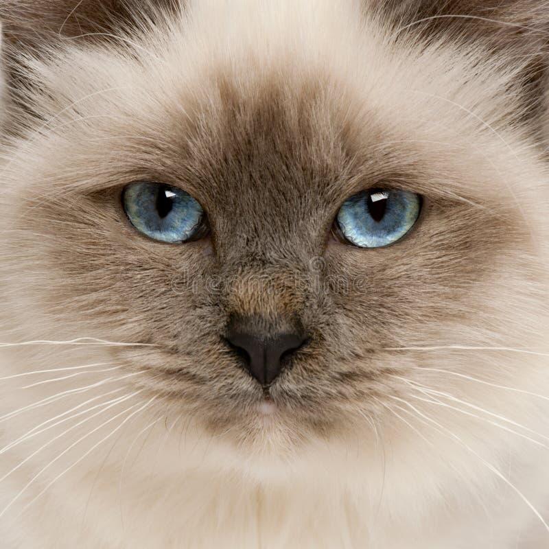 Close-up van het gezicht van de kat Birman royalty-vrije stock afbeeldingen