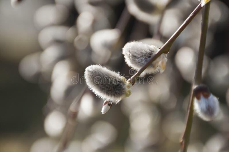 Close-up van het huilen van purpere wilg in zonlicht stock afbeeldingen