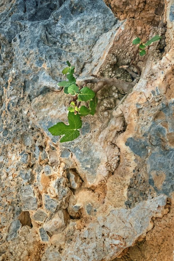 Close-up van het kleine vijgeboom groeien op rots royalty-vrije stock fotografie