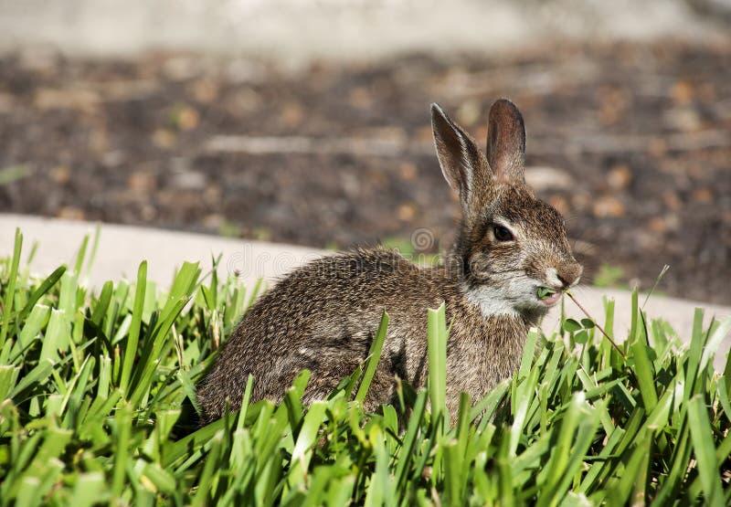 Close-up van het leuke konijn van het katoenstaartkonijnkonijntje in de tuin stock afbeelding