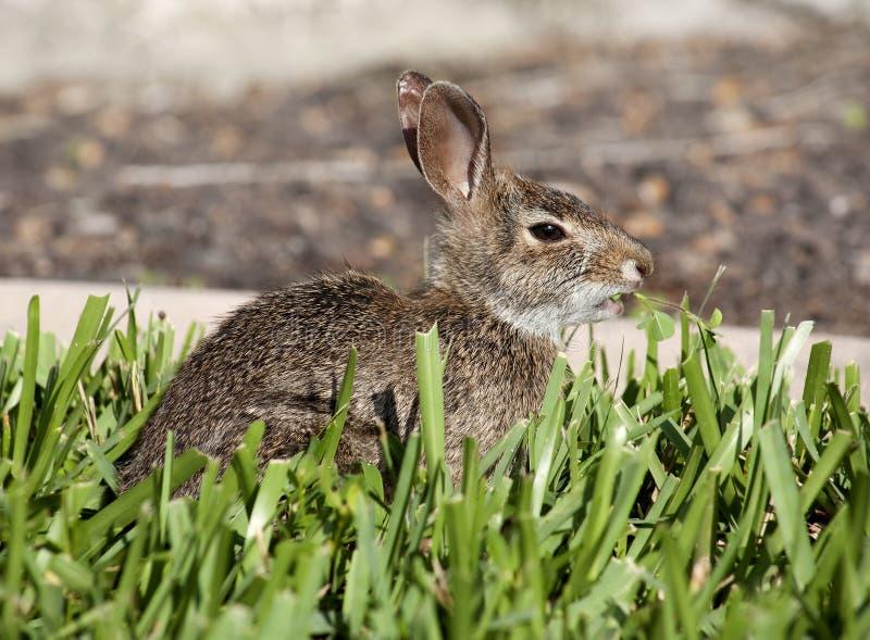 Close-up van het leuke konijn van het katoenstaartkonijnkonijntje in de tuin stock foto's