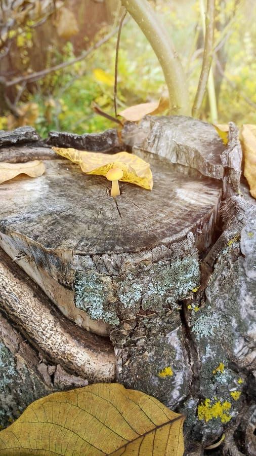 Close-up van het mooie maar giftige het Bosje van de paddestoelzwavel groeien op stomp stock fotografie