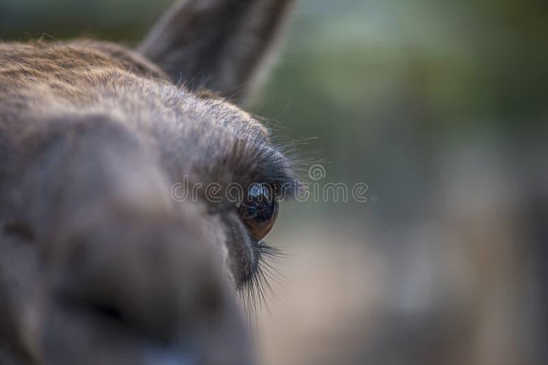 Close-up van het oog die van een alpaca, zich op de leerling concentreren stock afbeelding