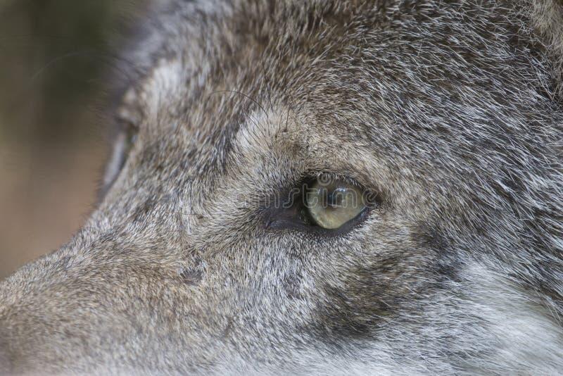 Close-up van het oog van een grijze wolf royalty-vrije stock foto