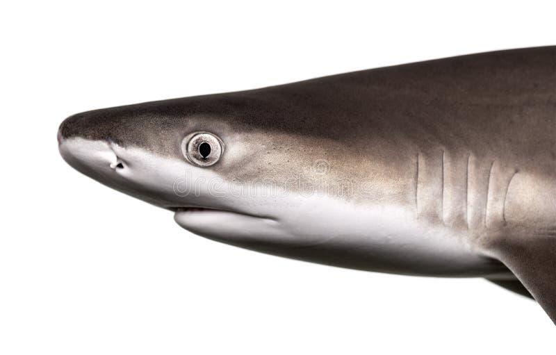Close-up van het profiel van een Blacktip-ertsaderhaai stock foto's
