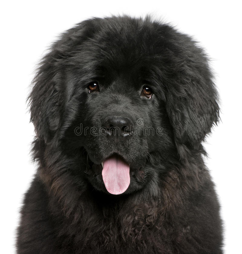 Close-up van het puppy van Newfoundland het hijgen stock fotografie